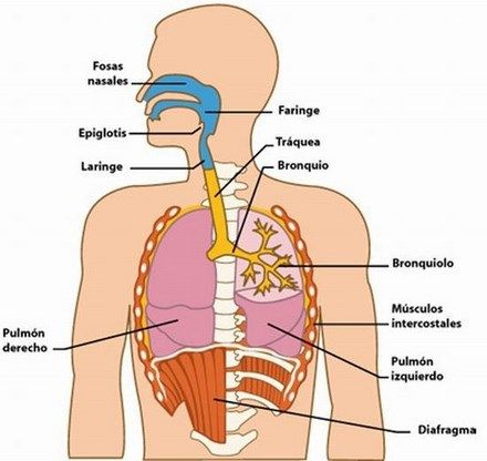 easygenerator | Sistema respiratorio
